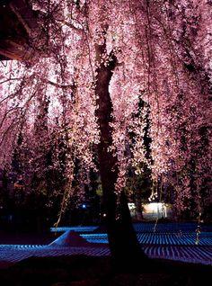 """しだれ桜とヤマザクラに彩られる""""ねねの寺"""" 鷲峰山 高台寺"""