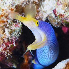 #Blue Ribbon #Eel, #Fiji. #moray