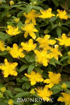 Monrovia's St. John's Wort details and information. Learn more about Monrovia plants and best practices for best possible plant performance.