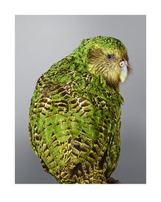 Sirocco the kakapo - amazing portrait by Leila Jeffreys. Colorful Parrots, Colorful Birds, Exotic Birds, Kakapo Parrot, Animals And Pets, Cute Animals, Bird Barn, Barn Owls, Nature Color Palette