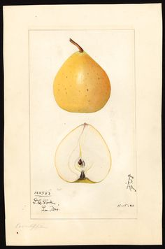 Artist: Arnold, Mary Daisy, ca. 1873-1955 Scientific name: Pyrus pyrifolia Common name: Asian pear Variety: Pear Apple Geographic origin: Louisiana, Pike County, Missouri, United States Physical description: 1 art original : col. ; 17 x 25 cm. Specimen: 100483 Year: 1921 Date created: 1921