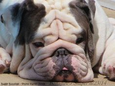 Now that's a real member of Baggy Bulldogs www.bullymake.com #buldog