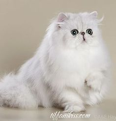 Шиншилла, серебристая затушеванная персидская кошка. Chinchilla and Silver Shaded Persians.