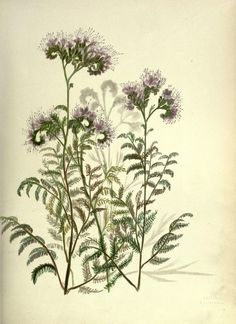 Pacific plant botanical illustrations Wild Heliotrope (Phacelia distans, Boraginaceae)