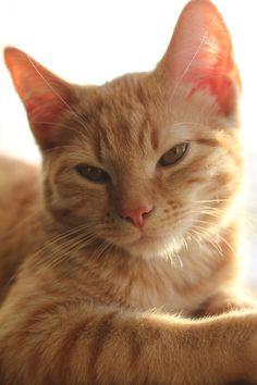 Orange Tabby Cats, Red Cat, Pretty Cats, Beautiful Cats, Mama Cat, Puppies And Kitties, Cat Aesthetic, Sleepy Cat, Ginger Cats