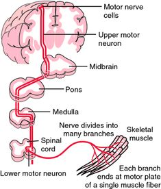 Progression of motor neuron disease can be slowed down by What is lower motor neuron disease