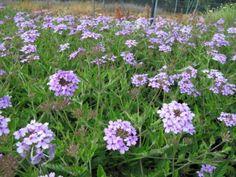 Verbena (Zone: 7-9) Full Sun Flowers, Full Sun Plants, Summer Flowers, Purple Flowers, Patio Plants, Garden Plants, Privacy Plants, Flowering Plants, Vegetable Garden