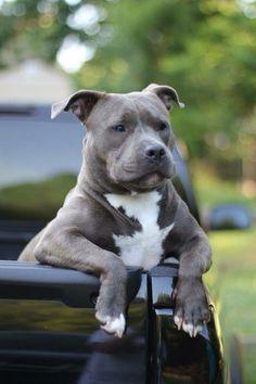 Adorable pittbull