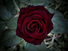 Black Baccara Rose por Deborah Luna