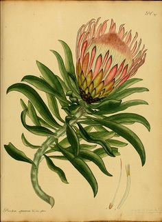 Protea. The botanist's repository, for new, and rare plants. Printed by T. Bensley, and published by the author, London, 1797
