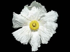Egg-Plant Bancroft-Garden (flo). Romneya coulteri, the Coulter's Matilija poppy or Californian tree poppy, is a species of flowering plant in the poppy family, is a popular ornamental plant, kept for its large, showy flowers.
