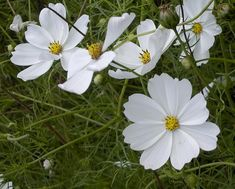 Bloemen zaaien met de lente in aantocht zoals zaden van cosmos, cosmea, iberis,...