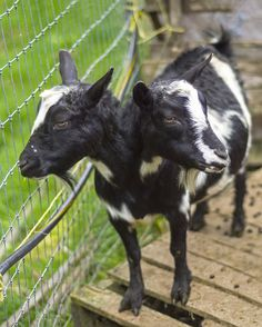 Two headed goat | 11 Amazing Two-Headed Animals