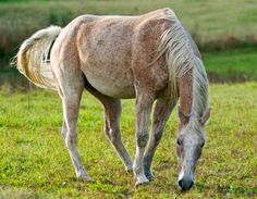 Flea-bitten grey Quarter Horse