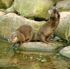 European otter (above, taken in their element, Conwy Valley, Wales)