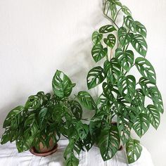Never enough Monstera! 📷: thanks for sharing with the and happy 💚 House Plants Decor, Plant Decor, Green Plants, Tropical Plants, Indoor Garden, Indoor Plants, Belle Plante, Plant Aesthetic, Plants Are Friends