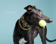greyhound pets of america :: june rescue of the month ...