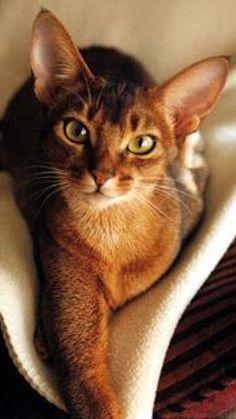 Quiet Cat: Breeds That Are Quiet & Training Your Cat To Be Quiet ruhige Katzenrassen: Abessinier I Love Cats, Crazy Cats, Cool Cats, Crazy Cat Lady, Pretty Cats, Beautiful Cats, Pretty Kitty, Beautiful Pictures, Quiet Cat