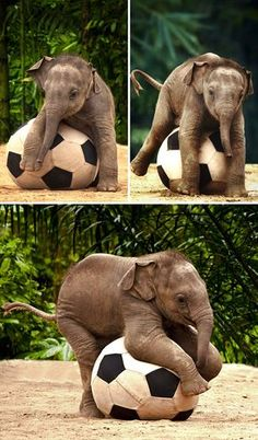 Exotic pets, baby elephants, save the elephants, animals and pets, zoo anim Baby Animals Pictures, Cute Animal Pictures, Funny Animals, Funny Pictures, Cute Elephant Pictures, Elephants Photos, Save The Elephants, Baby Elephants, Image Elephant