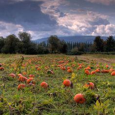 Pumpkin field, Fall City, WA