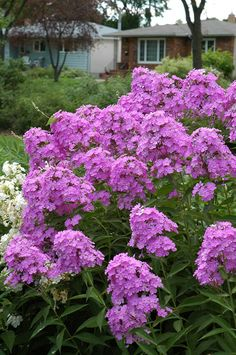 """Little Boy Garden Phlox (Phlox paniculata """"Little Boy"""") in St Paul Minneapolis Twin Cities Metro Minnesota at Linder's Garden Center  15 in, partial shade, blooms early summer to early fall"""