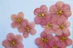060214 potentilla ~ Daisy Gifts Ltd pressed dried pale pink potentilla flowers http://www.daisyshop.co.uk £0.99.