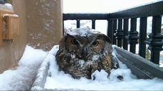 OKLAHOMA CITY - For those of you who could spend hours and hours looking at photos of baby kittens and screaming goats on the internet, we have a story for you! A mother owl has cozied up to an Oklahoma family and laid eggs in their window box. They now have at least one new addition. MOBILE LIVE STREAM: Watch Alessondra's OKC Great Horned Owl webcam