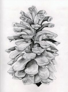 Life drawing of pine cone by Oliver Michael Robertson Pine cone drawing. Nature Drawing, Plant Drawing, Painting & Drawing, Drawing Drawing, Illustration Art Dessin, Illustration Botanique, Illustrations, Pencil Art, Pencil Drawings
