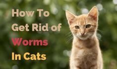 How To Get Rid Of Worms In Cats For Their Healthy And Happy Living Cats Cat Worms Animal Sounds