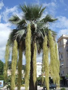 Brahea Armata Palm Trees (Mexican Blue Palm Trees/Blue Hesper Palm Trees)