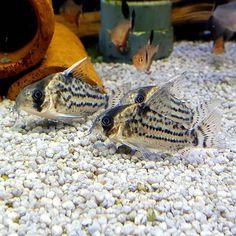 "@my_aquarium_blog on Instagram: ""Cute corydoras schwartzi 😊 . . Found them in the shop of @aquadozoo . . . . . . . . #Aquarium #aquascaping #corydoras #lovely…"""