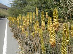 Aloe Véra en fleur Bord de route - Santiago - Cap-Vert
