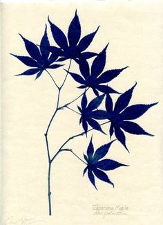 9x12 in. Unframed Owen Mortensen Japanese Maple Botanical - sun prints of trees