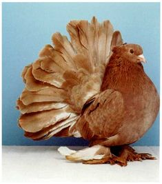 A brown fantail pigeon, showing off it's spender and beautiful fanned tail. Peace Pigeon, Pigeon Bird, Dove Pigeon, King Pigeon, Fantail Pigeon, Pigeon Pictures, Pigeon Breeds, Pigeon Loft, Racing Pigeons