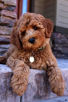 We appreciate your interest in Daisy Hill Australian Labradoodles and Labradoodle puppy adoption! We match puppies to their forever homes. Super Cute Puppies, Cute Little Puppies, Cute Dogs And Puppies, Doggies, Tiny Puppies, Fluffy Puppies, All Dogs, Chien Goldendoodle, Mini Goldendoodle Puppies