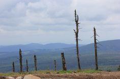 Abgestorbene Bäume auf der Wurmberspitze im Harz