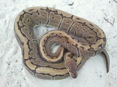 Male Pinstripe Ball Python