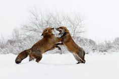"""Fox Fight in the Snow - Fighting Foxes in the snow during winter time. <a href=""""http://www.roeselienraimond.com"""" target=_blank>roeselienraimond.com</a> 