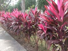 Cordyline fruticosa Rubra...my honey got me one of these, but decided to keep in a pot...so beautiful and colorful ❤️