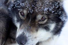 Dog, Husky, Finland, Lapland, Musher #dog, #husky, #finland, #lapland, #musher
