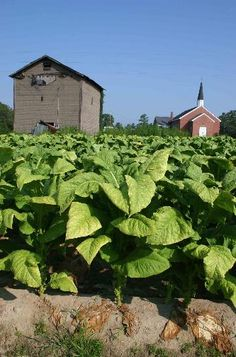 Tobacco with an old tobacco barn across from the country church