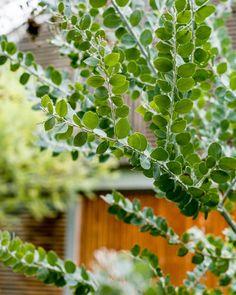 Fiona Brockhoff's garden / The Planthunter