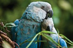 Ararinha-azul (Cyanopsitta spixii): vive na Caatinga. O hábitat natural que restou para esta bela ave é o zoológico. Apenas em zoos e coleções particulares é que podem ser observadas as derradeiras 55 ararinhas vivas. Na natureza, a última que foi vista, em 2000, era um macho, que desapareceu.