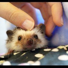 Herbert the seven week old pygmy hedgehog | Pet Ruby