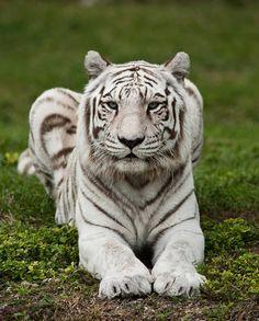 Royal Bengal Tiger   Benal, Tiger, Animal, Animals, Big, Ca,t Panthera, Tigris, Subspecies, India, Bangladesh, Nepal Bhutan, Myanmar Snow Tiger, Pet Tiger, Tiger Cubs, Rare Animals, Cute Baby Animals, Exotic Animals, Wild Animals, White Bengal Tiger, White Tigers