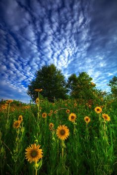 sunflowers| http://flower-fields-473.blogspot.com
