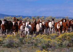 Le Mustang - Des Mustangs en liberté
