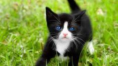 lindo gatito negro blanco