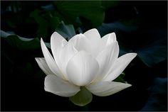 White lotus flower on black background