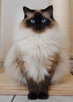 Fluffiest siamese cat ever! - Siamese Cat - Ideas of Siamese Cat - Fluffiest siamese cat ever! The post Fluffiest siamese cat ever! appeared first on Cat Gig. Cute Cats And Kittens, Cool Cats, Kittens Cutest, Big Cats, Fluffy Kittens, Pretty Cats, Beautiful Cats, Beautiful Pictures, Fluffy Cat Breeds